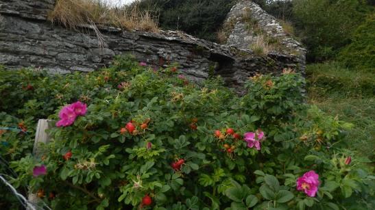 Overgrown rose garden